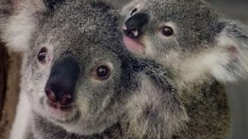 Геноцид коал
